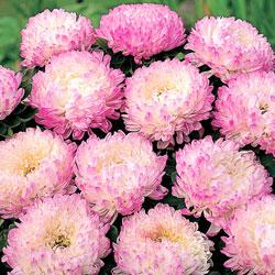 Aster c 'Pink Tower'