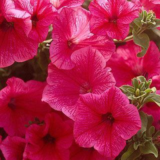 Petunia Surfinia® Rose Veined PP#16,468