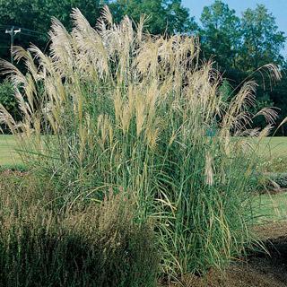 Eulalia Grass New Hybrid