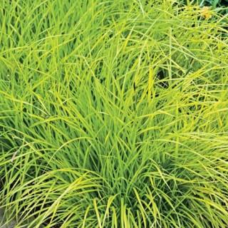 Bowles' Golden Carex Grass