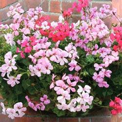 Geranium x petatatum 'Summertime Mixed'