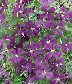 Etoile Violette Clematis  - 3 pre-started plants