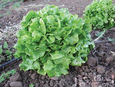 Pom Pom Lettuce Organic