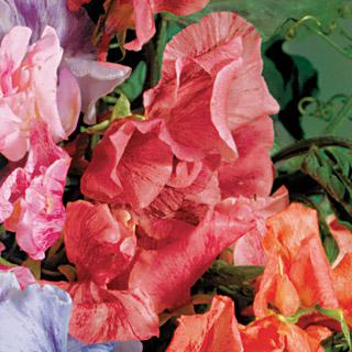 Sweet Pea Streamer Scarlet