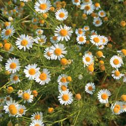 Herb Chamomile(Wild or German)
