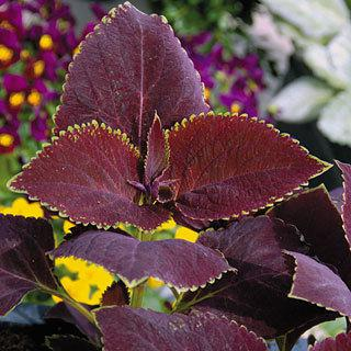 Coleus Giant Exhibition Magma
