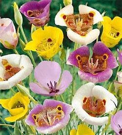 SOLD OUT Mixed Calochortus - 10 bulbs