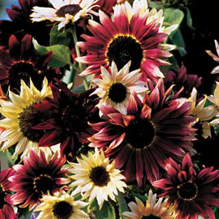 Sunflower Razzmatazz Mix