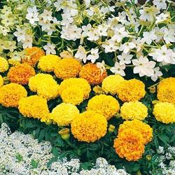 Marigold e. 'Sunspot Mixed'