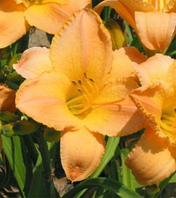 Etched in Gold Daylily - 5 root divisions