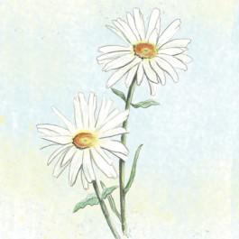 Alaska Shasta Daisy - Wildflower