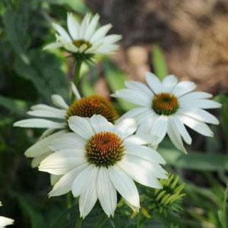 PowWow White Echinacea Coneflower Plant