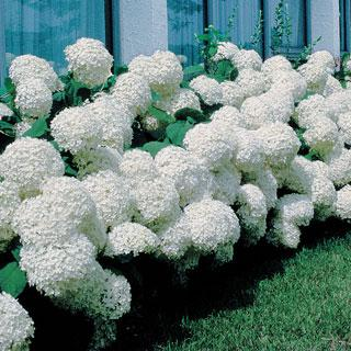 Annabelle Hydrangea arborescens Shrub