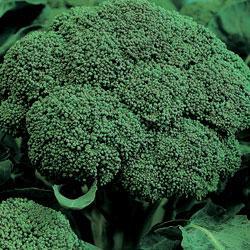 Broccoli Belstar F1 Hybrid