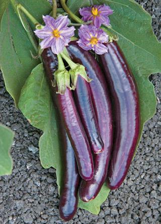 Eggplant Hansel Hybrid