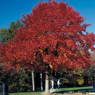 Wildfire Nyssa sylvatica Blackgum Tree