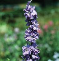 Sublime Lilac