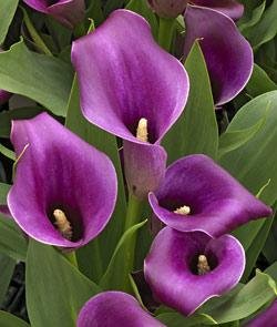 Regal Callafornia Calla® Calla Lily - 3 tubers