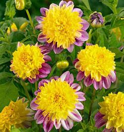 Boogie Woogie Anemone Dahlia - 3 root divisions