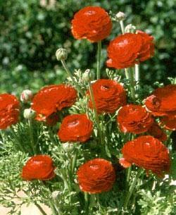 Red Tecolote® Ranunculus - 10 bulbs