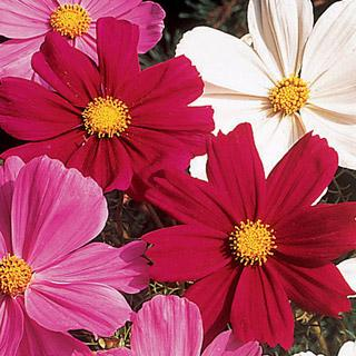 Cosmos Gazebo Red