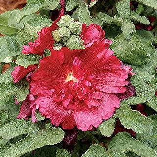 Spring Celebrities Crimson Hollyhock Plant