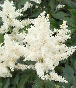 Gladstone Astilbe - 3 root divisions