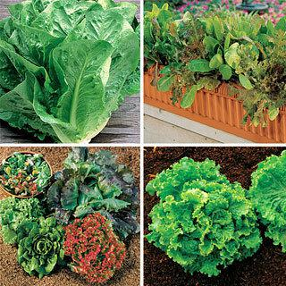 Our Best Lettuce Collection