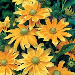Gloriosa Daisy Prairie Sun
