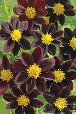 Dahlia-Black Beauty