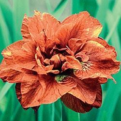 Siberian Iris Rigamarole