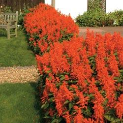 Salvia splendens 'Lighthouse'