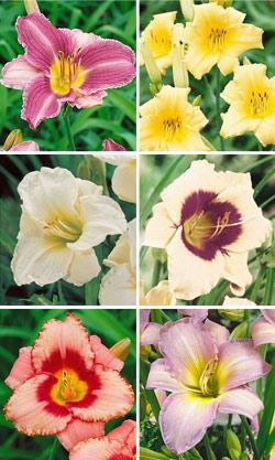 SOLD OUT Fragrant Daylilies Collection - 6 divisions
