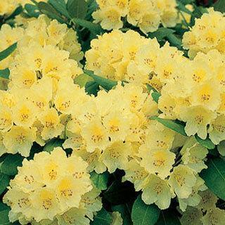 Capistrano Rhododendron Shrub