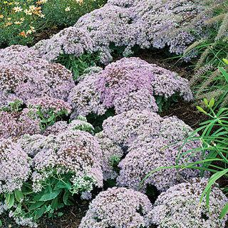 Pure Joy Sedum Stonecrop Plant