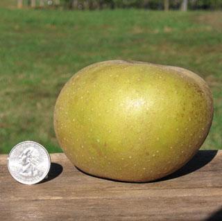 Apple Roxbury Russet