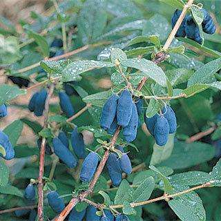 Lonicera Honeyberry Plant Collection