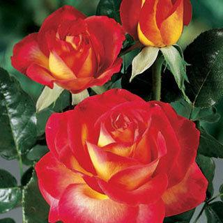 Always And Forever Red Hybrid Tea Rose Reviews