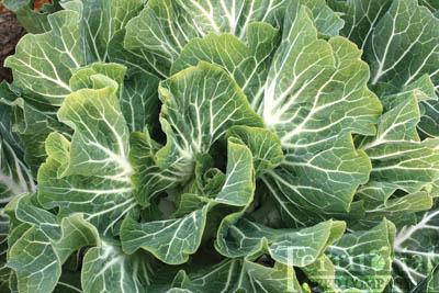 Beira Tronchuda Cabbage