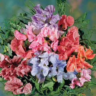 Sweet Pea Streamer Mix