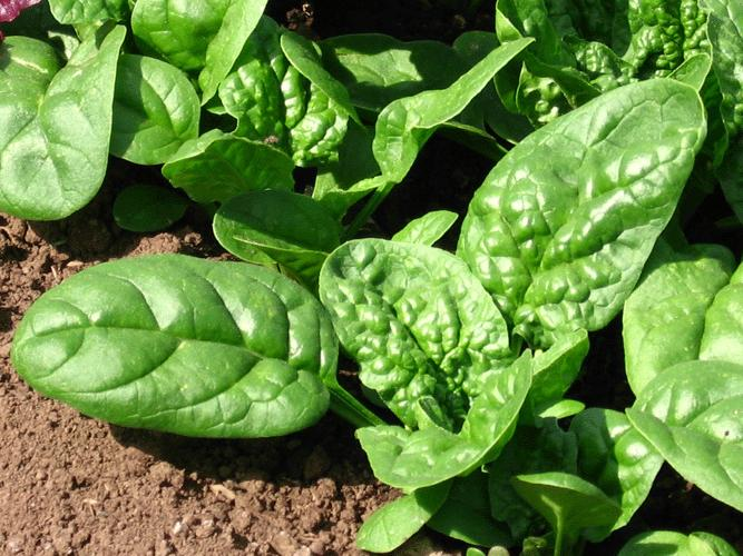 Spinach Bloomsdale Longstanding, Organic