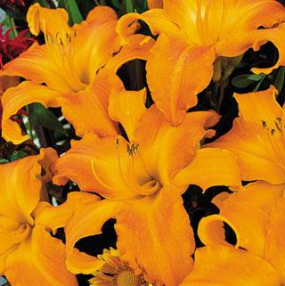 Primal Scream Hemerocallis Daylily Plant