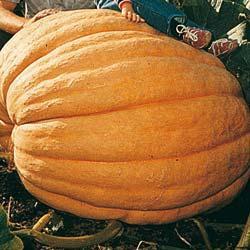 Pumpkin (Squash) Dill's Atlantic Giant