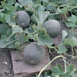 Melon Minnesota Midget