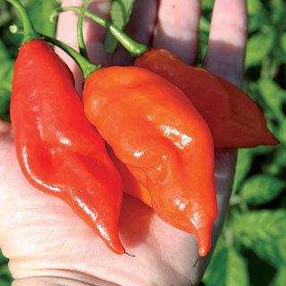 Pepper Maya