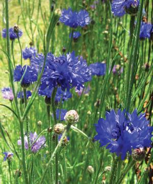 Cornflower, Florists Double Blue