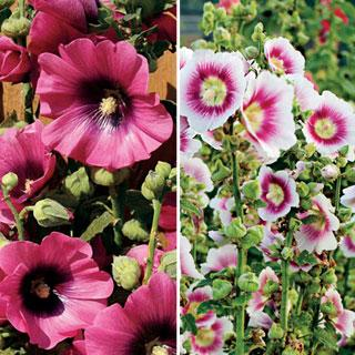 Halo Alcea rosea Hollyhock Series