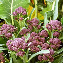 Broccoli Summer Purple