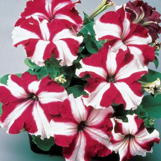 Petunia 'Ultra Crimson Star'