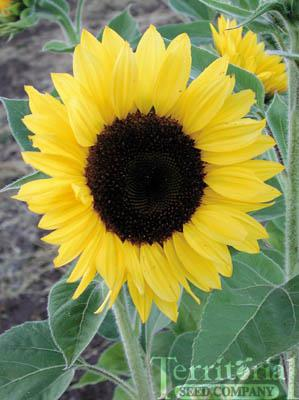 Sunflower-Sunrich Lemon